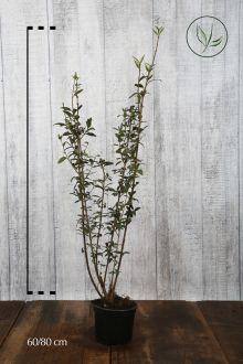 Stedsegrøn liguster 'Atrovirens' Potte 60-80 cm