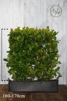Laurbærkirsebær 'Rotundifolia' Færdighække 160-170 cm Færdig hæk