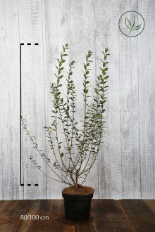 Stedsegrøn liguster 'Atrovirens' Potte 80-100 cm Ekstra kvalitet