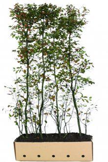 Bærmispel Færdighække 200 cm