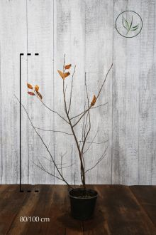Bærmispel Potte 80-100 cm