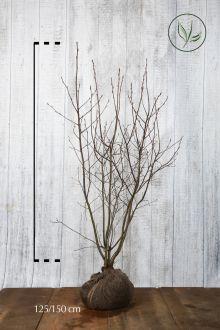 Bærmispel Klump 125-150 cm