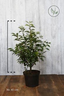 Portugisisk laurbærkirsebær Potte 30-40 cm