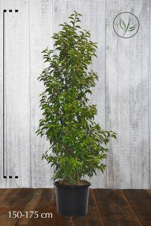 Portugisisk laurbærkirsebær Potte 150-175 cm Ekstra kvalitet