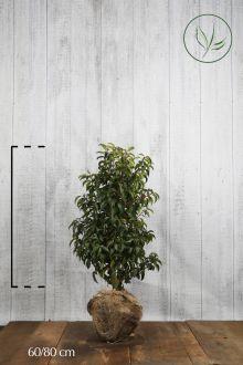Portugisisk laurbærkirsebær Klump 60-80 cm Ekstra kvalitet