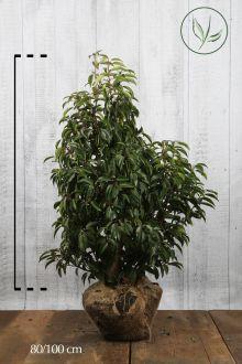Portugisisk laurbærkirsebær Klump 80-100 cm Ekstra kvalitet