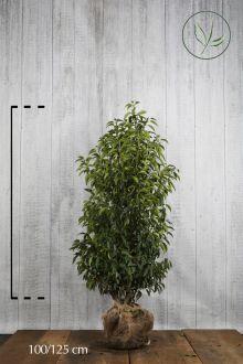 Portugisisk laurbærkirsebær Klump 100-125 cm