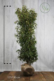 Portugisisk laurbærkirsebær Klump 125-150 cm Ekstra kvalitet