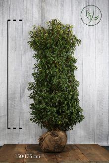 Portugisisk laurbærkirsebær Klump 150-175 cm Ekstra kvalitet