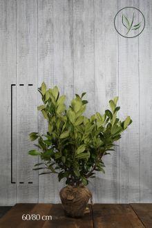 Laurbærkirsebær 'Rotundifolia' Klump 60-80 cm