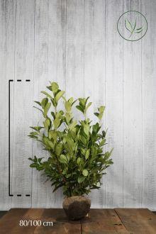 Laurbærkirsebær 'Rotundifolia' Klump 80-100 cm Ekstra kvalitet