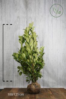 Laurbærkirsebær 'Rotundifolia' Klump 100-125 cm Ekstra kvalitet