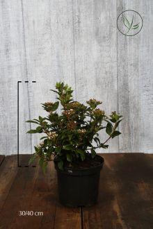 Vintersnebolle Potte 30-40 cm