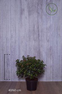 Vintersnebolle Potte 40-60 cm