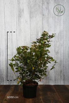 Vintersnebolle Potte 60-80 cm