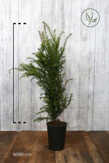 Almindelig taks Potte 60-80 cm