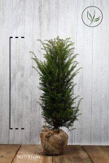 Almindelig taks Klump 80-100 cm Ekstra kvalitet