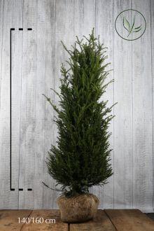 Almindelig taks Klump 140-160 cm Ekstra kvalitet