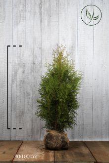 Thuja 'Brabant' Klump 80-100 cm Ekstra kvalitet
