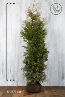 Thuja 'Brabant' Klump 150-175 cm Ekstra kvalitet