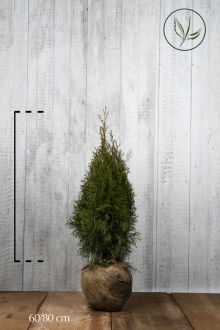 Thuja 'Smaragd' Klump 60-80 cm Ekstra kvalitet