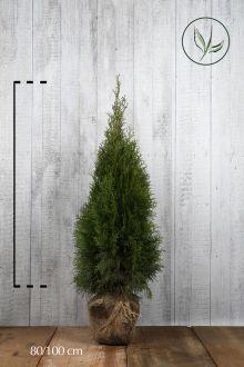 Thuja 'Smaragd' Klump 80-100 cm Ekstra kvalitet