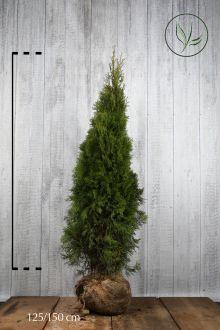 Thuja 'Smaragd' Klump 125-150 cm Ekstra kvalitet