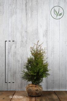 Thuja 'Brabant' Klump 60-80 cm Ekstra kvalitet