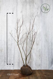 Bærmispel Klump 150-175 cm