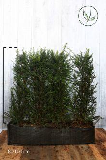 Almindelig taks Færdighække 80-100 cm Færdig hæk