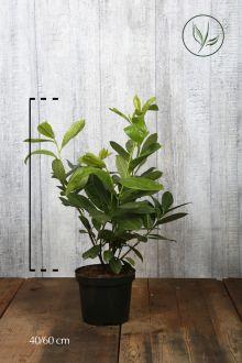 Laurbærkirsebær 'Rotundifolia' Potte 40-60 cm