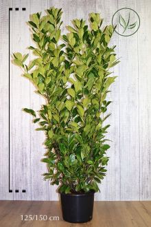 Laurbærkirsebær 'Rotundifolia' Potte 125-150 cm Ekstra kvalitet