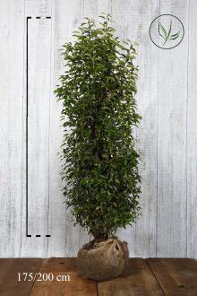 Portugisisk laurbærkirsebær Klump 175-200 cm Ekstra kvalitet
