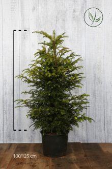 Almindelig taks Potte 100-125 cm