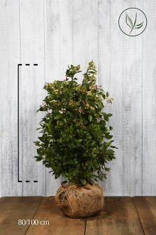 Vintersnebolle Klump 80-100 cm
