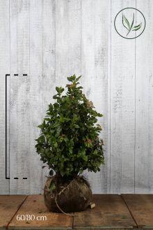 Vintersnebolle Klump 60-80 cm