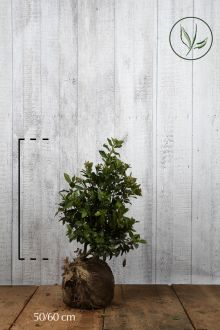 Vintersnebolle Klump 50-60 cm