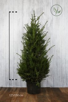 Almindelig taks Potte 125-150 cm