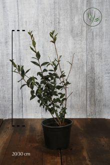 Almindelig liguster Potte 20-30 cm