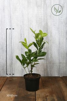 Laurbærkirsebær 'Rotundifolia' Potte 30-40 cm