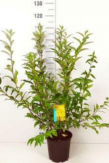 Have-forsythia 'Spectabilis' Potte 60-80 cm Ekstra kvalitet