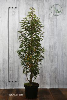 Portugisisk laurbærkirsebær Potte 100-125 cm Ekstra kvalitet