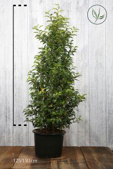 Portugisisk laurbærkirsebær Potte 125-150 cm Ekstra kvalitet