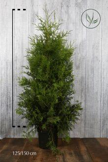 Thuja 'Brabant' Potte 125-150 cm Ekstra kvalitet