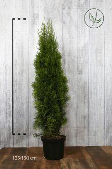 Thuja 'Smaragd' Potte 125-150 cm Ekstra kvalitet