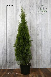 Thuja 'Smaragd' Potte 140-160 cm Ekstra kvalitet