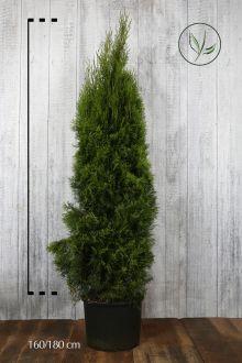 Thuja 'Smaragd' Potte 160-180 cm Ekstra kvalitet