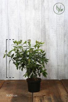 Vintersnebolle Potte 50-70 cm