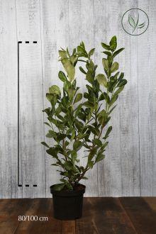 Laurbærkirsebær 'Rotundifolia' Potte 80-100 cm