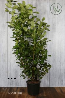Laurbærkirsebær 'Rotundifolia' Potte 175-200 cm